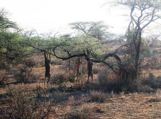 Samburu National Reserve. Wikipedia