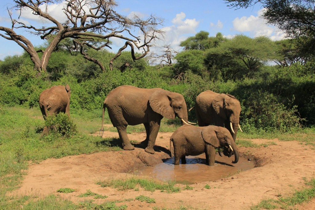 Elefantes en Manyara. Por Marga