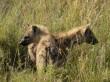 Hienas en Serengeti. Por Sol M.